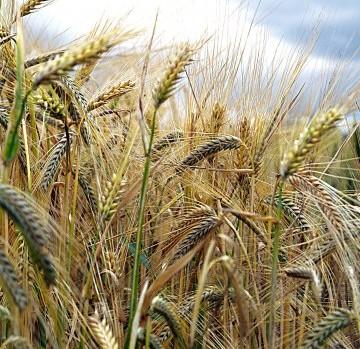 Epis de blé